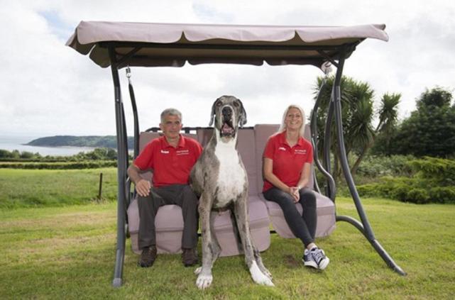 Conoc al perro m s grande del mundo que mide 2 4 metros for Cual es el mejor colchon king size